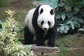 panda-dans-les-pyrenees